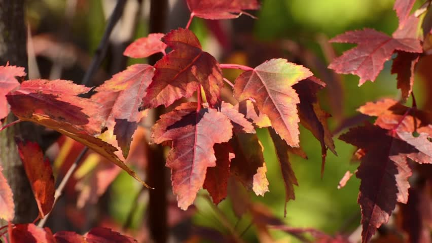 Header of Acer tataricum