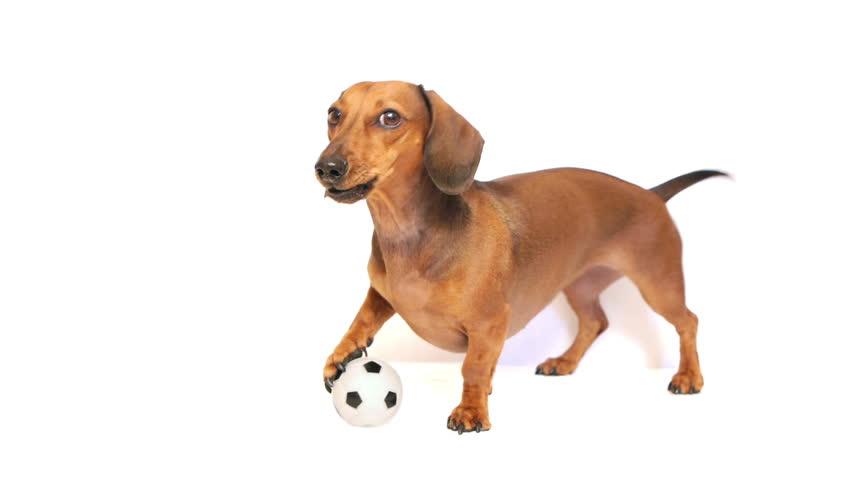 HD - Dog bark with a soccer ball