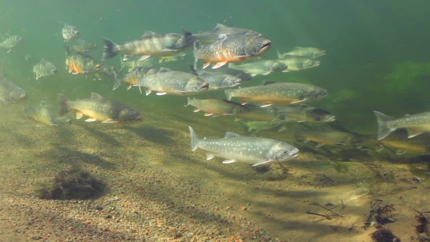 Golden fish in the garden pond stock footage video 2968657 for Golden ornamental pond fish