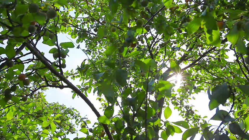 Sunlight through the leaves | Shutterstock HD Video #4479725