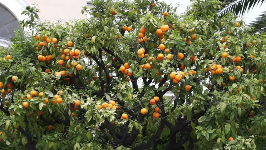Tree With Fruits Part - 28: Orange Tree With Fruits In City Of Nice, France Stock Footage Video 4498685    Shutterstock