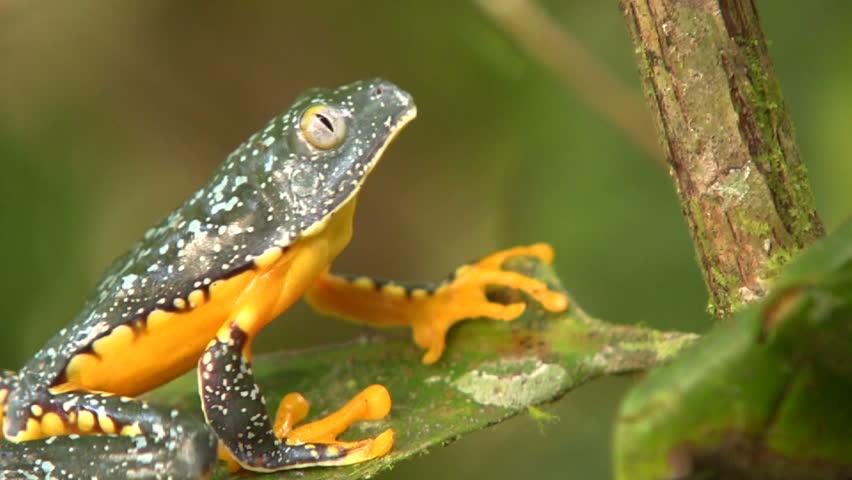 Amazon leaf frog (Cruziohyla craspedopus) climbing up a branch