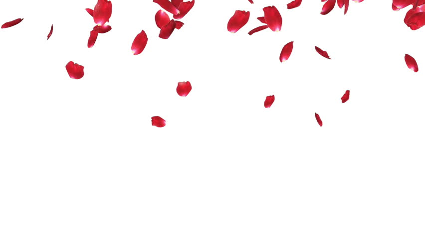 Rose petals Falling, against white