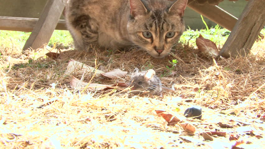 Cat playing with little mouse in backyard.