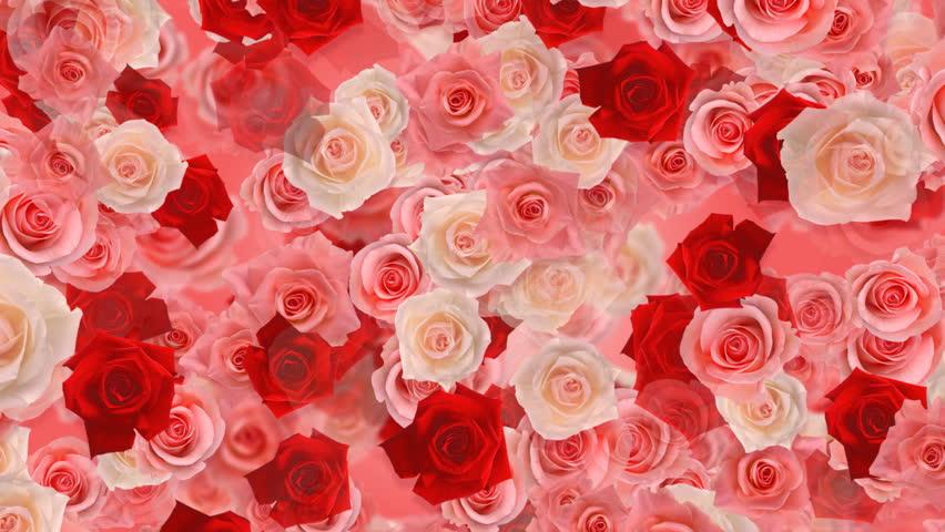 rose flower background wwwpixsharkcom images