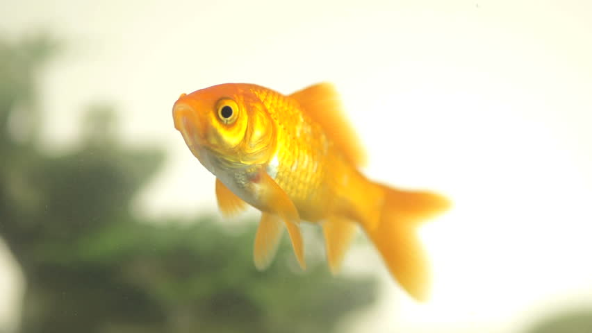 Slow Motion Shot Of Goldfish Staring At Camera And Then Swimming Away