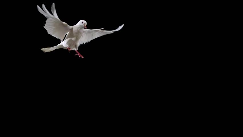White bird flapping on black background shooting with high speed camera, phantom flex. | Shutterstock Video #4629521