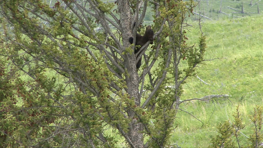A black bear cub uses his neck on his way down a tree.