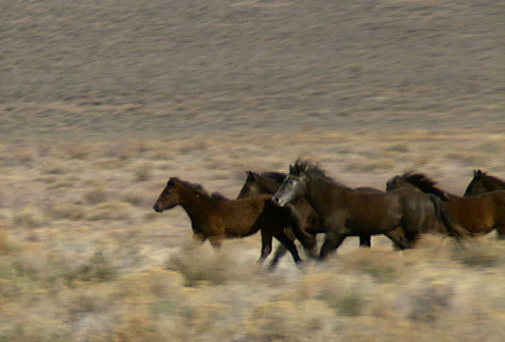 A Group Of Wild Horses Move Across The Foothills Near Reno