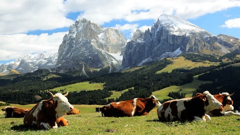 Herd of cows grazing and relaxing on an Alpine meadow in Seiser Aim with the majestic Italian Dolomites in the distance