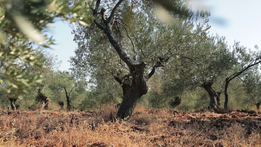 Olive Tree Plantation  (Dolly-up Shot). An olive tree branch shoot by dolly. The camera traveling up in the plantation