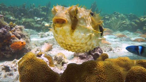 Bridled burrfish deflating in a coral reef with starfish, Caribbean sea, Panama