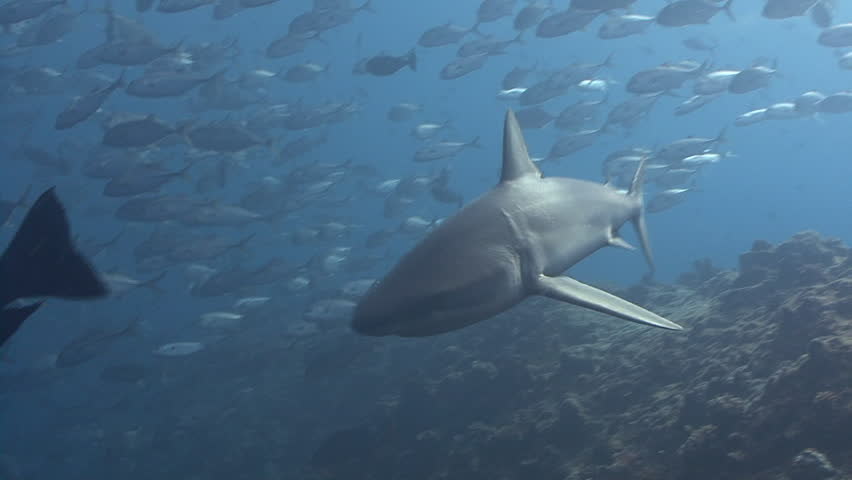Gray reef shark swims through school of silver fish and past viewer   Shutterstock HD Video #4764395