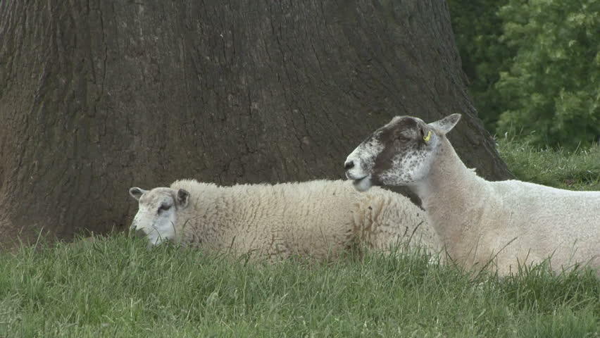 Ewe & lamb rest and chew cud. Ewe regurgitates fresh bolus. HD.