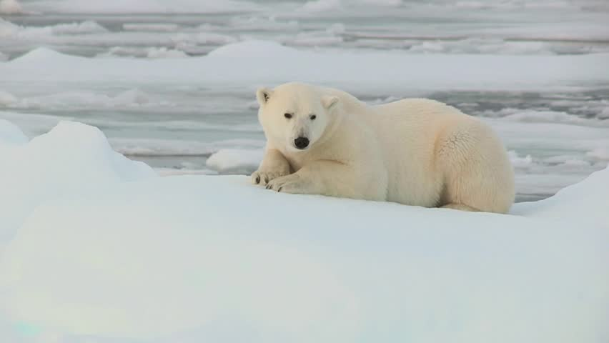 Polar Bear in Svalbard