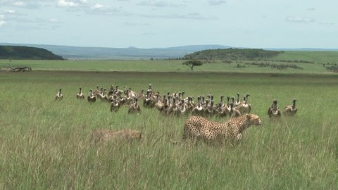cheetah moves away from food and the vultures come in