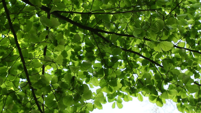 Green Tree And Sky From Below Static Turning Panning Shot Worm S Eye