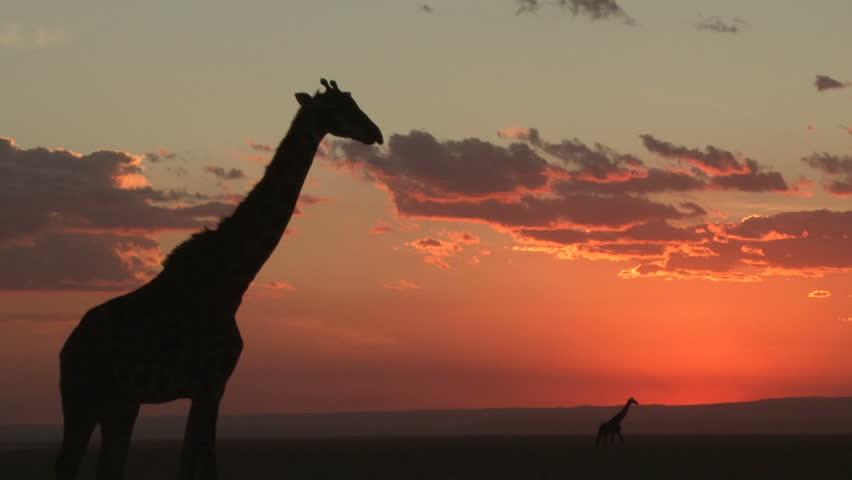 two giraffes in the setting sun.