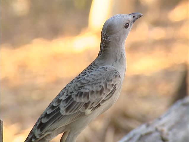 Great Bowerbird (chlamydera nuchalis) hops on branch, turns around - on camera