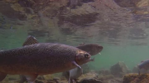Under water shot of Rainbow Trout swimming around a natural stream.  The light catches them to show why they are called rainbow trout.  Watch them jump and compete with each other for food.