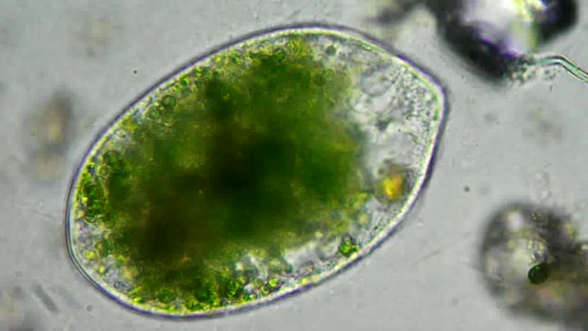 Green cell with chloroplast motion under microscope, magnification 200X