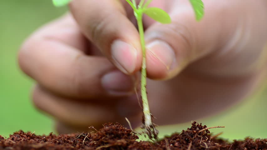 male hand planting young plant