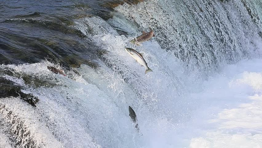 Spawning salmon jumping over Brooks falls at Katmai national park Alaska
