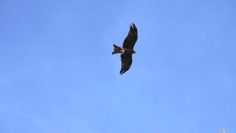hawk. flying. bird. slow motion .animals wildlife.