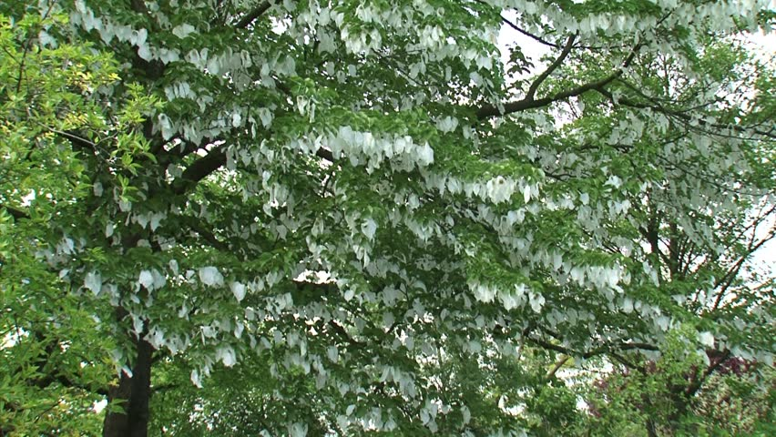Davidia involucrata baillon royalty free stock video in 4k and hd davidia involucrata baillon royalty free stock video in 4k and hd shutterstock mightylinksfo