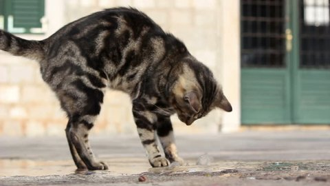 Domestic cat playing with water