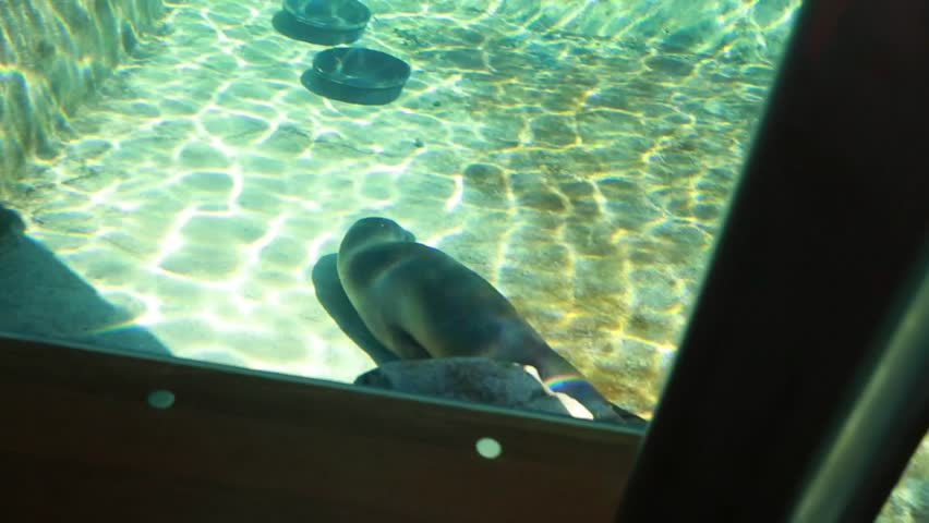 A seal swimming in an aquarium at the zoo