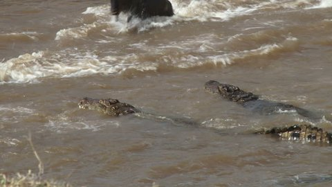 A young wildebeest strugles to free himself from the jaws of a crocodile, but loses the battle.