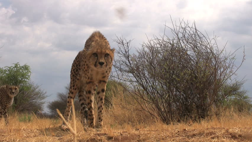 Cheetah Pouncing