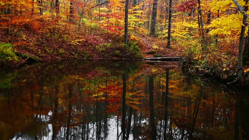 Vibrantly colorful fall leaves are reflected on the surface of a wooded pond in the early morning. This loop was filmed in Indiana's Yellowwood State Forest.