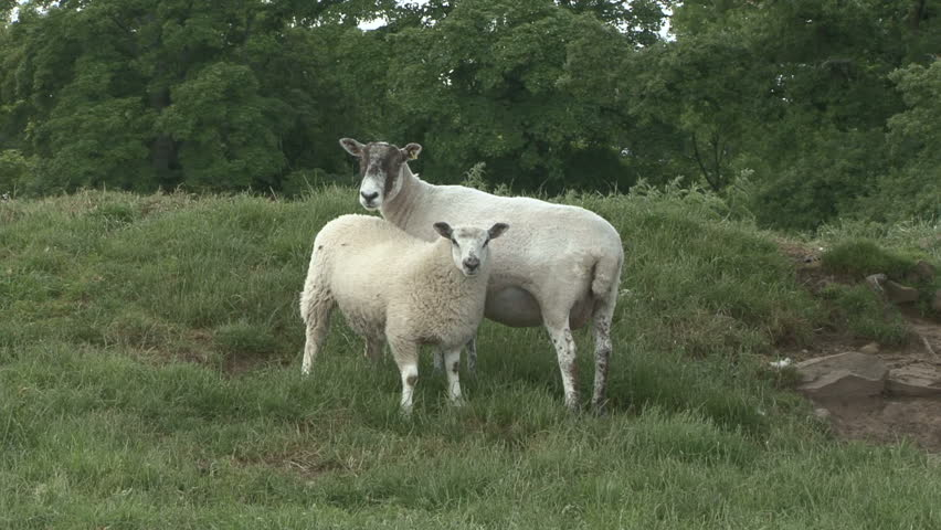 A ewe and her lamb stand together. HD.