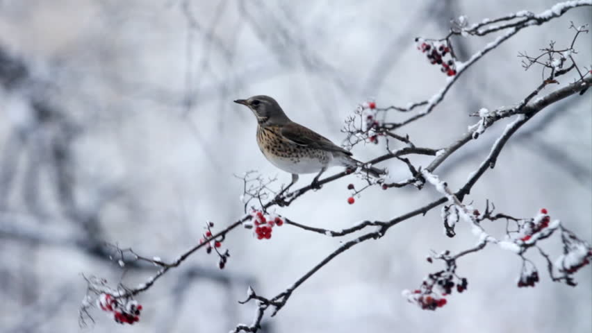 A bird sits on a branch for eating berry in winter