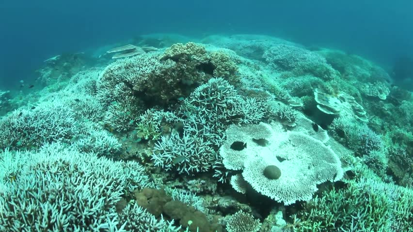 Coral bleaching occurs when sea surface temperatures rise causing the symbiotic zooxanthellae within the coral polyps to be expelled. Without zooxanthellae the corals look white or pastel in color.