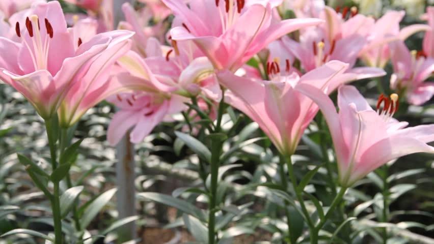 Beautiful Lily Flower In Garden Stock Footage Video 100 Royalty Free 5242385 Shutterstock
