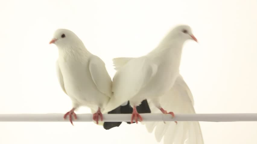 white dove on a white background