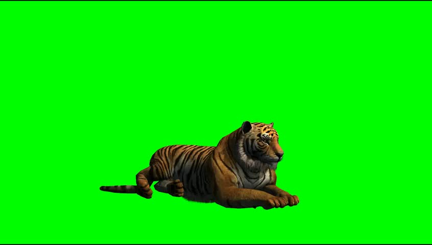 Tiger lying on green screen video Footage