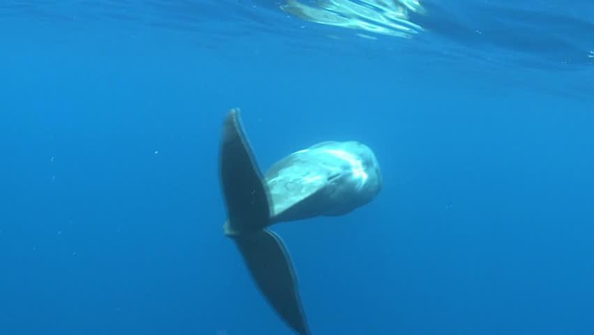 Sperm whale cuddle fins - underwater shoot Physeter macrocephalus Azores Island, Pico, Atlantic ocean