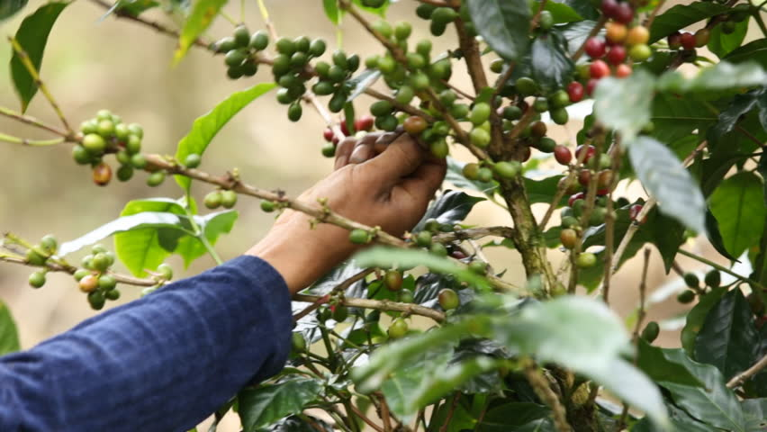 coffee farmer picking ripe cherry beans