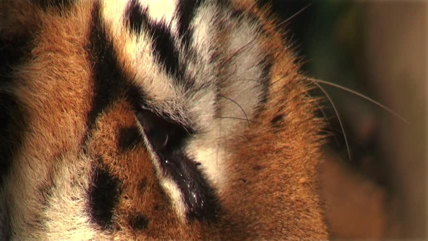 eye of tiger #5314469
