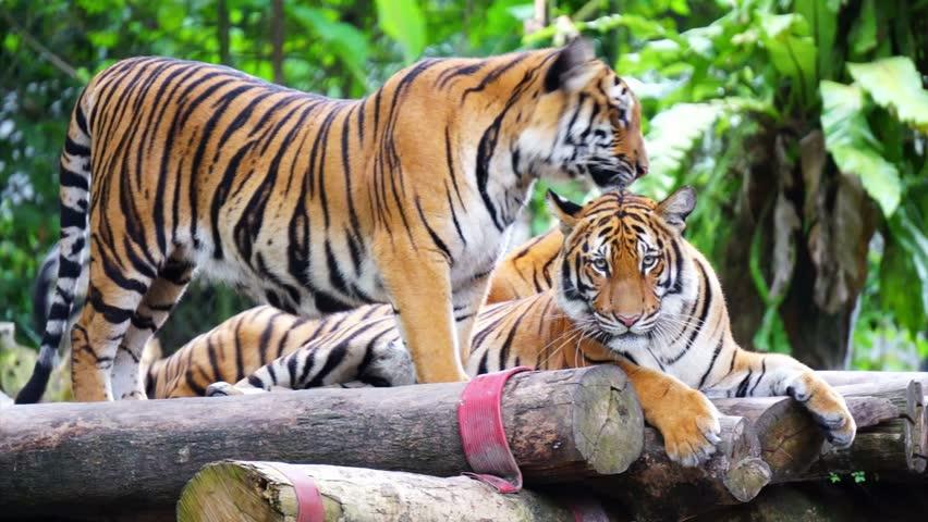 Map Of Thailand Malayan Tiger on amur tiger map, sumatran tiger map, dhole map, african tiger map, indochinese tiger map, chinese tiger map, caspian tiger map, tiger habitat map, golden tiger map, south china tiger map, malayn tiger map, asiatic cheetah map,