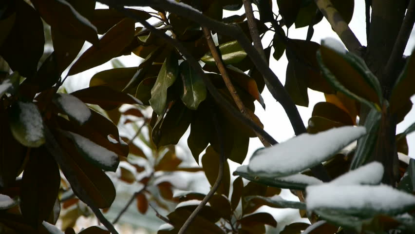 Snow covered leaves.  gh2_00703 | Shutterstock HD Video #5332385
