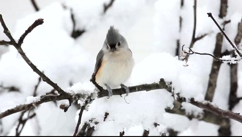 Tufted Titmouse (baeolophus bicolor) on a tree in snow
