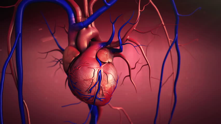 heart, Heart model w/clipping path, Human heart model, Full clipping path included, Human heart for medical study, Human Heart Anatomy - HD stock footage clip