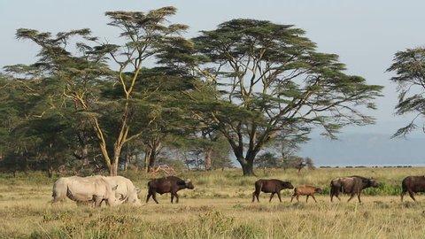 White rhinoceros (Ceratotherium simum) feeding with African buffaloes, Lake Nakuru National Park, Kenya