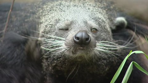 Binturong (Arctictis binturong) scratching ear - on camera. The Binturong, Asian Bearcat, Palawan Bearcat or Bearcat is neither a bear nor a cat, its scientific name means bear-weasel.