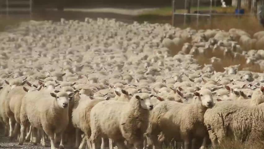 shepherd dogs moving a sheep herd to new pastures